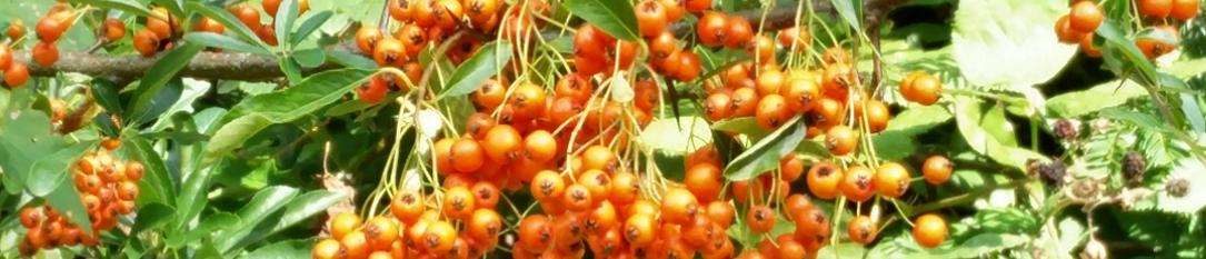 https://chatparks.org.uk/wp-content/uploads/2020/10/autumn_berries.jpg